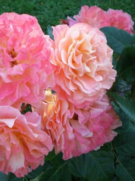 Rosa 'Augusta Luise ®' / Edelrose 'Augusta Luise'