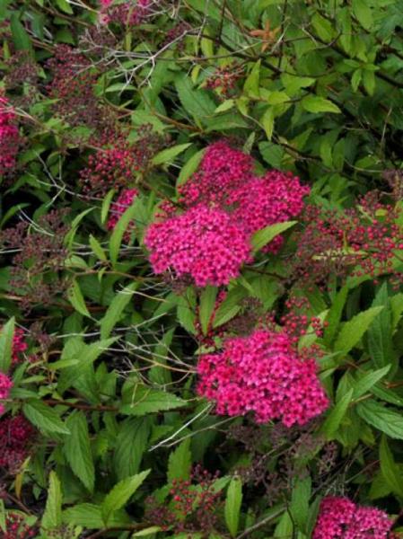 Spiraea japonica 'Dart's Red' / Roter Spierstrauch 'Dart's Red'