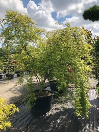 Acer palmatum 'Emerald Lace' / Fächerahorn / Japanischer Ahorn 250-300 cm (1112)