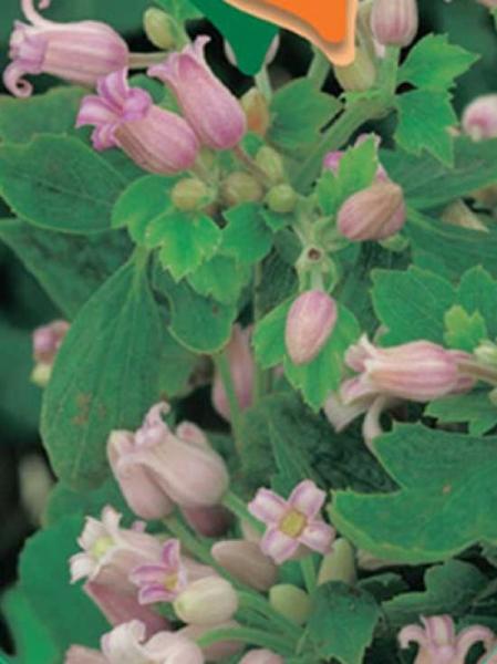Clematis heracleifolia 'Pink Dwarf' / Großblättrige Waldrebe 'Pink Dwarf'