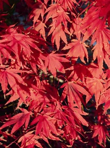 Acer palmatum 'Nicholsonii' / Fächer-Ahorn 'Nicholsonii' / Japanischer Ahorn