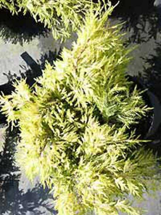 juniperus chinensis 39 gold star 39 chinesischer wacholder 39 gold star 39 g nstig kaufen baumschule. Black Bedroom Furniture Sets. Home Design Ideas