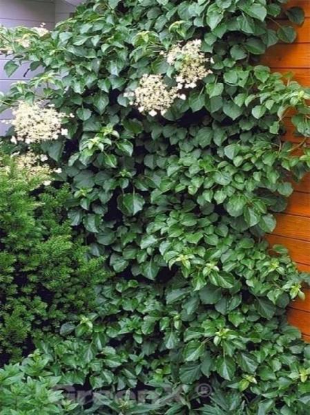 Hydrangea anomala petiolaris / Kletter-Hortensie