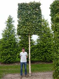 Hochstammspalier 260 cm