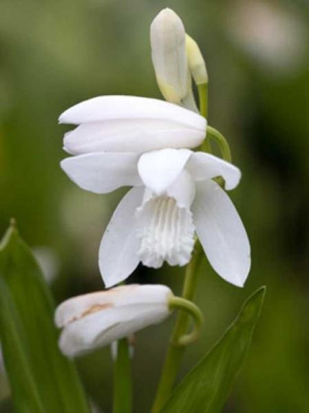 Bletilla Striata Alba Japanorchidee Gartenorchidee Günstig Kaufen