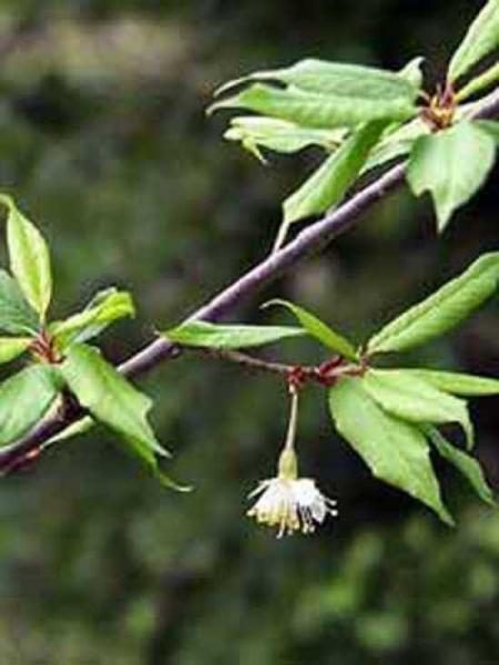 Prunus 'Mahogany Lustre' / Zierkirsche 'Mahogany Lustre'