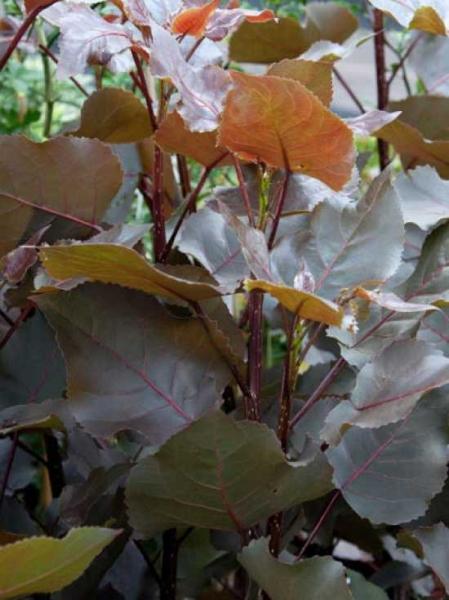Populus deltoides 'Purple Tower' ® / Purpur Pappel 'Purple Tower'