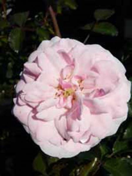 Rosa 'Bonica 82 ®' / Stammrose 'Bonica 82'