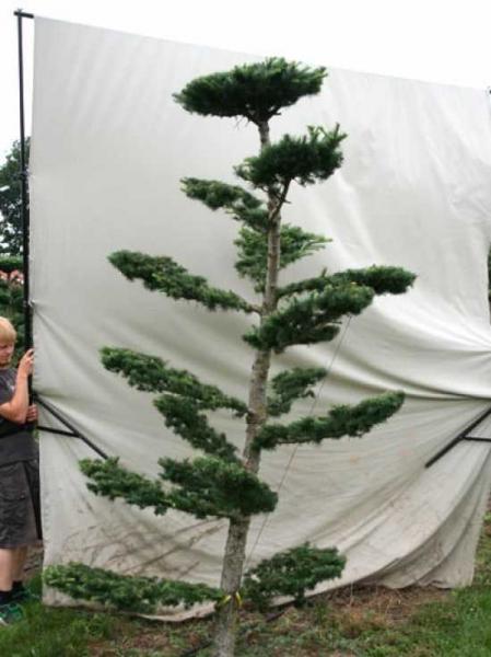 Larix decidua H: 300 cm B: 150 cm / Garten-Bonsai (801114)