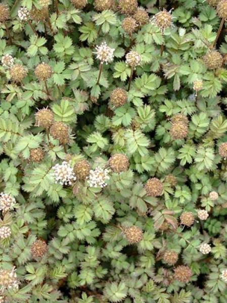 Acaena microphylla 'Dichte Matte' / Stachelnüsschen