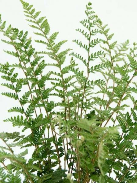 Cheilanthes lanosa / Haariger Pelzfarn / Lippenfarn