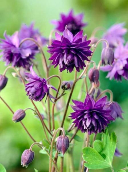 Aquilegia vulgaris 'Blue Barlow' / Gefüllte Akelei