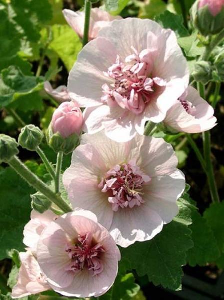 Alcalthea suffrutescens 'Parkfrieden' / Bastardmalve 'Parkfrieden'