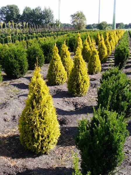 Thuja plicata '4ever Goldy' / Gelber Lebensbaum '4ever Goldy'