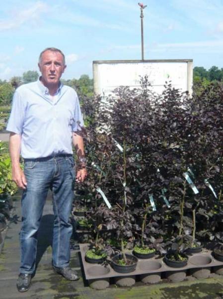 Fagus sylvatica 'Purpurea' / Blutbuche 100-125 cm im 4-Liter Container