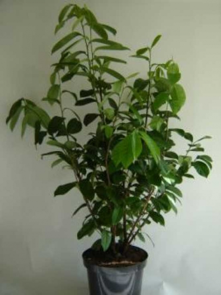 Prunus laurocerasus 'Novita' / Kirschlorbeer 'Novita' 60-80 cm im 5-Liter Container