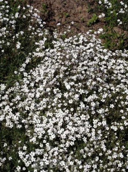 Gypsophila repens / Polster-Schleierkraut