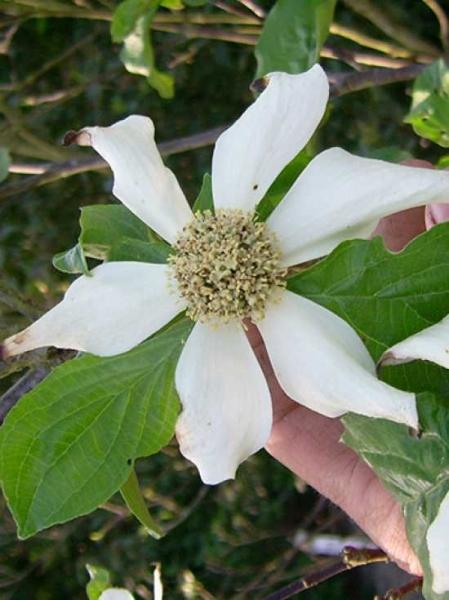 Cornus nuttallii 'North Star' / Nuttalls Blüten-Hartriegel 'North Star' / Pazifischer Blüten-Hartriegel 'North Star'