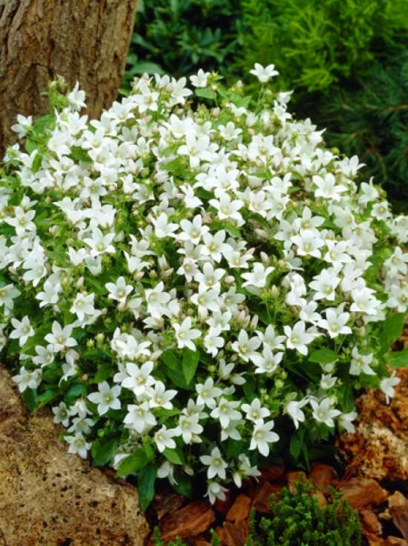 Campanula lactiflora 'White Pouffe' / Kleine Dolden-Glockenblume