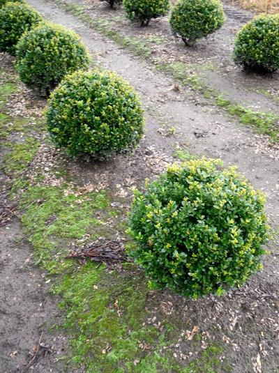 Osmanthus burkwoodii / Frühlings-Duftblüte 'Kugel' 35-40 cm mit Drahtballierung