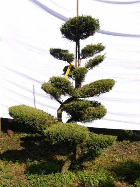 Juniperus media 'Hetzii' H: 170 cm B: 110 cm / Garten-Bonsai (301559)
