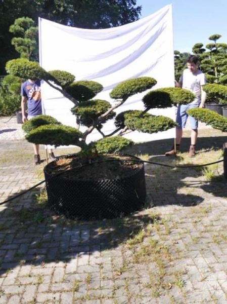 Taxus baccata 'Summergold' H: 140 cm B: 200 cm / Garten-Bonsai (0248)