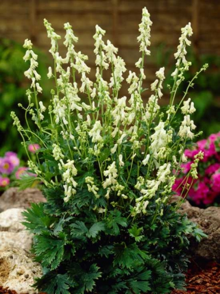 Aconitum septentrionale 'Ivorine' / Weißblühender Schweden-Eisenhut