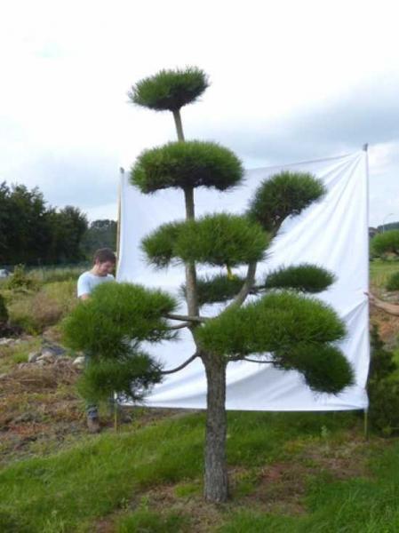 Pinus nigra ssp. nigra H: 300 cm B: 210 cm / Garten-Bonsai (201220)