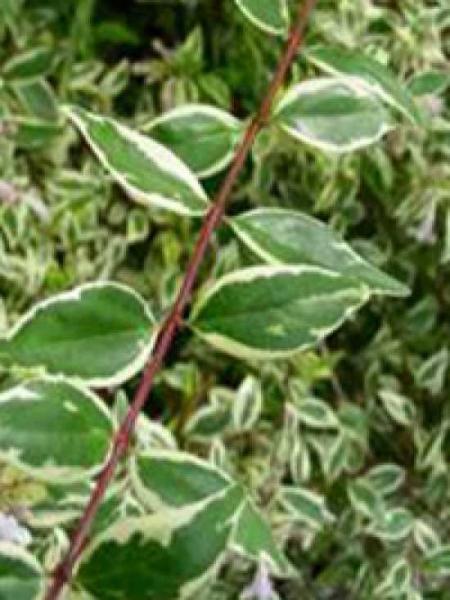 Abelia grandiflora 'Hopleys' / Großblumige Abelie 'Hopleys'