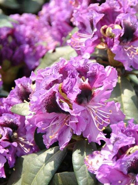 Rhododendron Hybride 'Blaue Jungs' / Rhododendron 'Blaue Jungs'