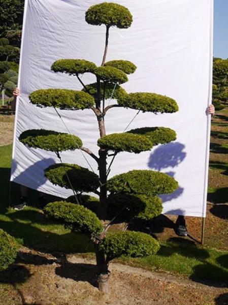 Taxus baccata 'Semperaurea' H: 230 cm B: 130 cm / Garten-Bonsai (0144)