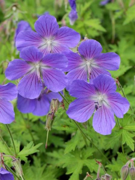 Geranium x pratense 'Johnson's Blue' / Storchschnabel