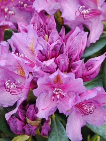 Rhododendron Hybride 'INKARHO Lee's Dark Purple' / Rhododendron 'INKARHO Lee's Dark Purple'