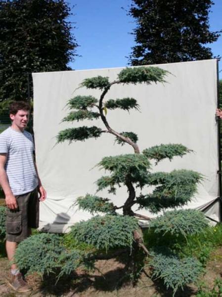 Juniperus squamata 'Blue Carpet' H: 200 cm B: 160 cm / Garten-Bonsai (306139)