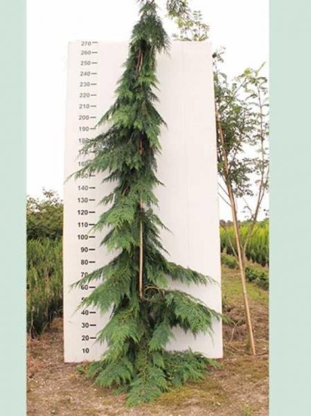 Chamaecyparis lawsoniana 'Diks Weeping' / Kalifornische Zypresse