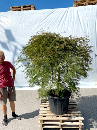 Acer palmatum 'Dissectum Ornatum' / Roter Schlitz-Ahorn 125-150 cm breit (1213)