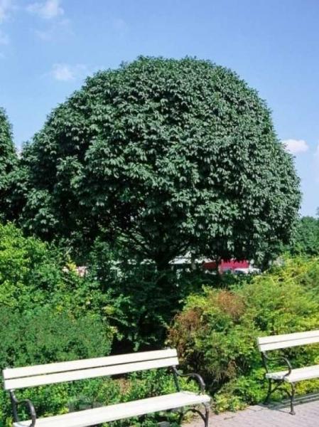 Fraxinus ornus 'Meczek' / Kugelförmige Manna-Esche / Kugelförmige Blumen-Esche