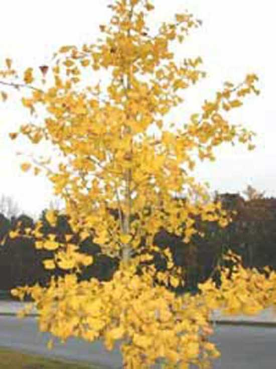 ginkgo biloba 39 autumn gold 39 goldener ginkobaum. Black Bedroom Furniture Sets. Home Design Ideas