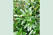 Prunus_Herbergii