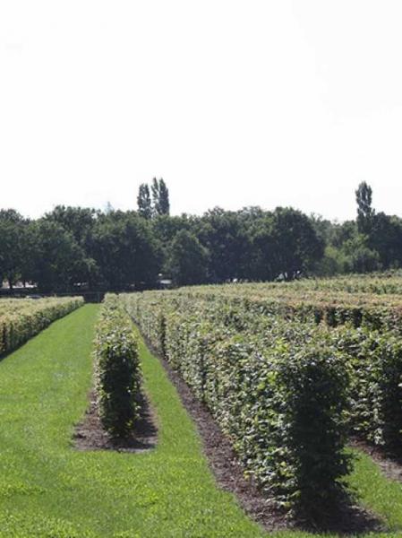 Carpinus betulus / Hainbuche / Fertighecke / Heckenelement 125 cm x 50 cm x 50 cm