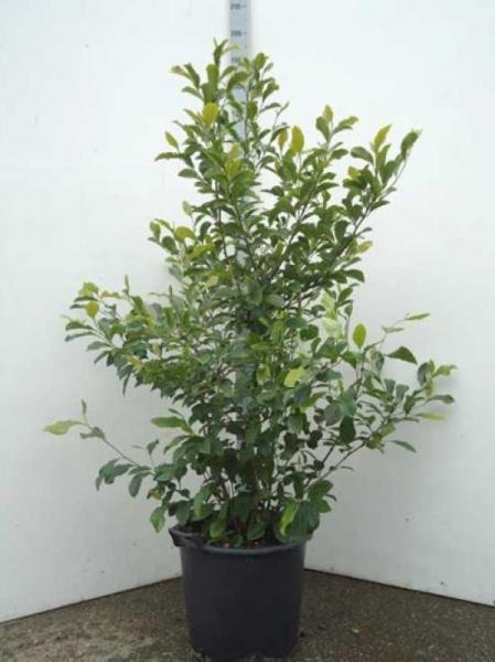 Magnolia liliiflora 'Jane' / Purpur-Magnolie 'Jane'