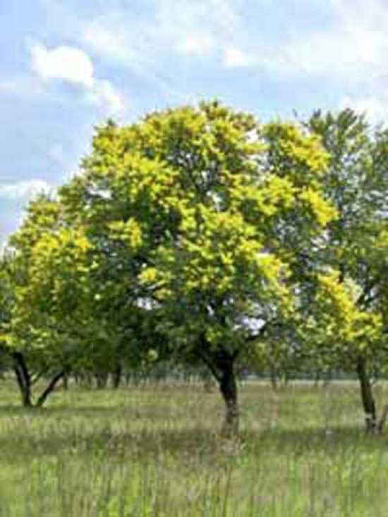 acacia dealbata silber akazie falsche mimose guenstig