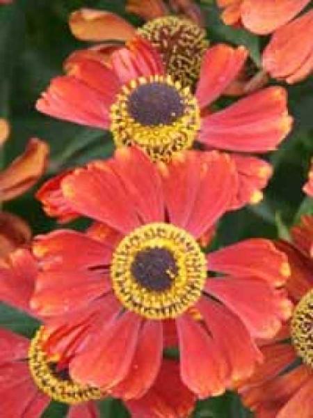 Helenium 'Moerheim Beauty' / Garten-Sonnenbraut