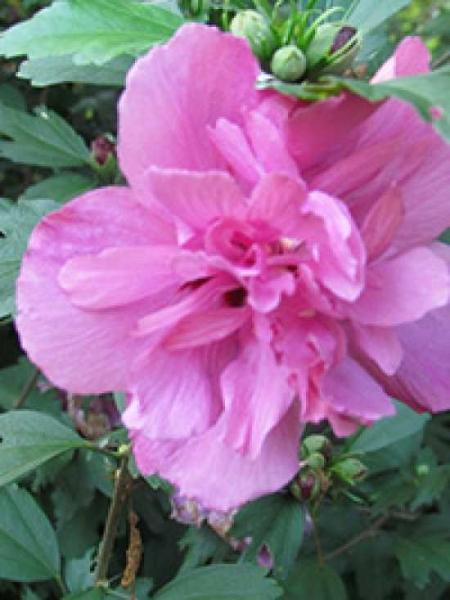 Hibiscus syriacus 'Freedom' / Garten-Eibisch 'Freedom'