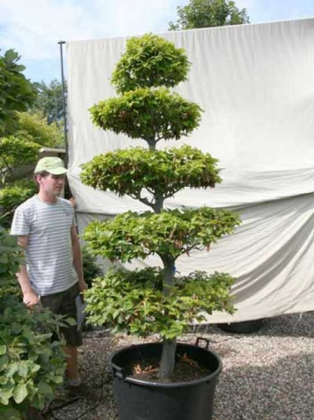 Fagus sylvatica H: 230 cm B: 100 cm / Garten-Bonsai (0441325)