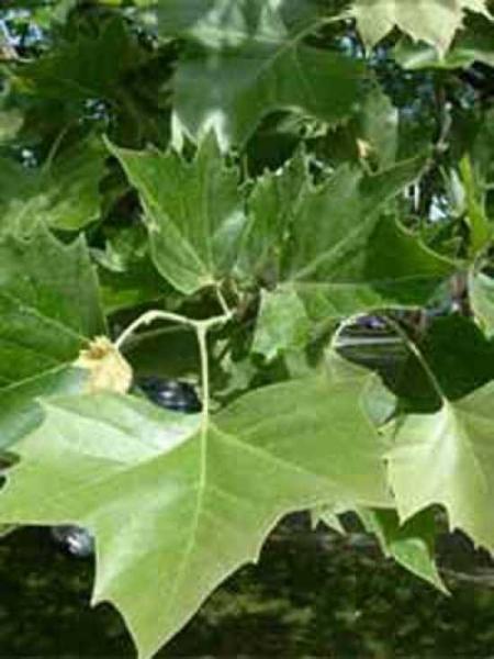 Platanus acerifolia 'Dachspalier' / Platanus acerifolia 'Dachform' mehrstämmig