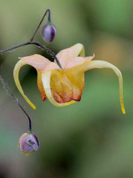 Epimedium cultorum 'Amber Queen' / Elfenblume 'Amber Queen'