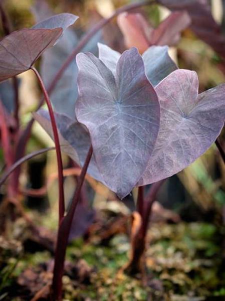 Colocasia rubra 'Black Magic' / Taro 'Black Magic'