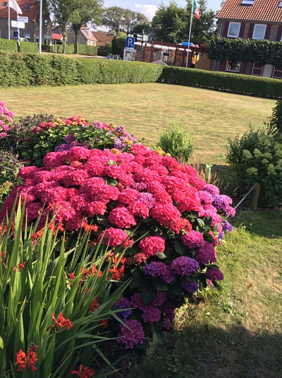 Hydrangea macrophylla 'Forever & Ever Red ®' / Bauern-Hortensie 'Forever & Ever Red'