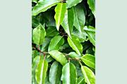 Prunus_angustifolia